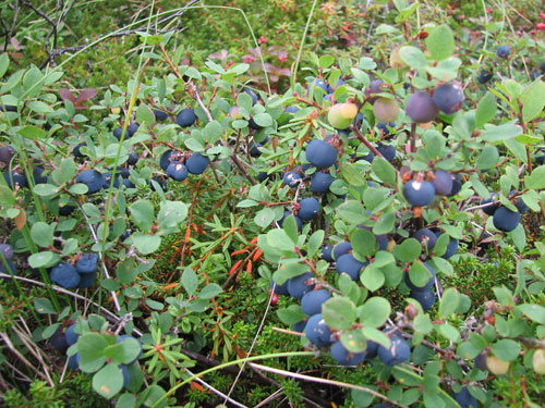 Anchorage Alaska Flattop Hike, Blueberry picking