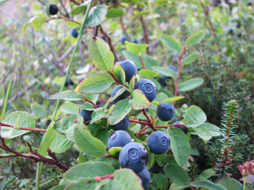 Anchorage Alaska, Blueberry Picking, Hike Flattop